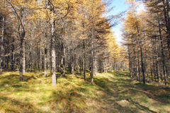 Dahurian larch forest Royalty Free Stock Photos