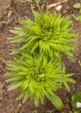 Dahuricum del Lilium de los lirios del azafr?n; Pensylvanicum del Lilium en jard?n imágenes de archivo libres de regalías