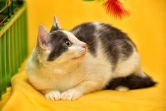 Dai capelli corti europeo del gatto bianco e grigio Immagini Stock