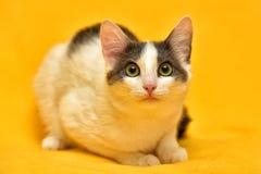 Dai capelli corti europeo del gatto bianco e grigio Fotografia Stock