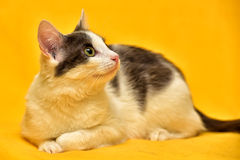 Dai capelli corti europeo del gatto bianco e grigio Fotografie Stock Libere da Diritti