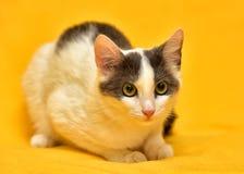 Dai capelli corti europeo del gatto bianco e grigio Immagine Stock Libera da Diritti