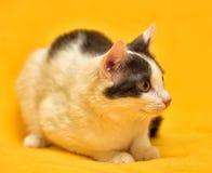 Dai capelli corti europeo del gatto bianco e grigio Fotografia Stock Libera da Diritti