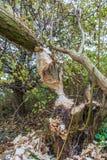 Dai castori pungenti alberi in terreno alluvionale lungo i lek olandesi del fiume Immagine Stock Libera da Diritti