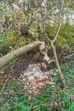 Dai castori pungenti alberi in terreno alluvionale lungo i lek olandesi del fiume Fotografia Stock