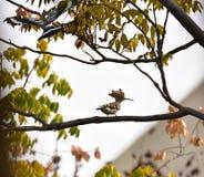 Dai Shengniao sur l'arbre et sur l'herbe Photos libres de droits