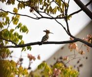 Dai Shengniao sur l'arbre et sur l'herbe Photographie stock libre de droits