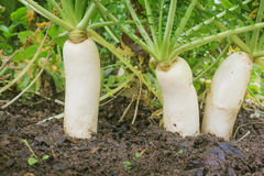 Daikon radish in the garden Royalty Free Stock Photo