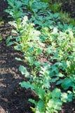 Daikon or radish growing in the garden. Studio Photo Stock Photo