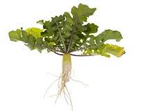 Daikon - white Chinese radish. Whole plant Royalty Free Stock Images