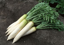 Daikon White Radish Stock Photo