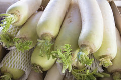 Daikon White Radish Closeup Royalty Free Stock Image