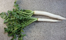 Daikon, white radish. Mooli, Raphanus sativus, root vegetable with long lobed leaves and white fleshy root up to 40 cm long, used as salad, cooked as vegetable stock images