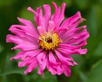 Daila rosado Foto de archivo