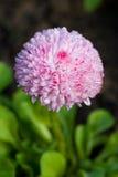 Dailsy avec la rosée de matin Image stock