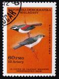 Daimi de Xenopirostris, cerca de 1986 Imagens de Stock