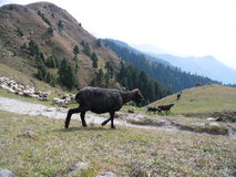 Scenic Mountain. Sheep grazing on Mountain in  Himachal Pradesh ,India Royalty Free Stock Images