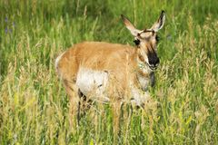 Daina americana del ` dell'antilope del ` di Pronghorn in Custer State Park fotografia stock libera da diritti