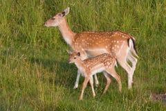 Daina con un giovane cervo Fotografie Stock