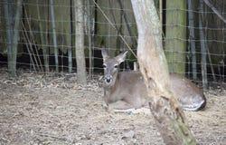 Daina dei cervi dalla coda bianca Fotografia Stock