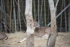 Daina dei cervi dalla coda bianca Fotografia Stock Libera da Diritti