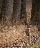 Daina dei cervi della coda bianca Fotografia Stock Libera da Diritti