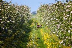 Daina dei daini nella piantagione di melo Immagini Stock Libere da Diritti
