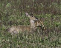 Daina del Whitetail che lecca il suo fawn Fotografia Stock Libera da Diritti