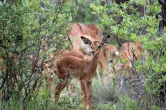Daina dell'impala sull'allerta Fotografie Stock Libere da Diritti