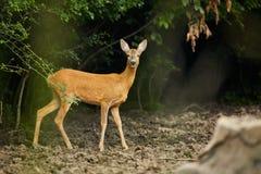 Daina della coda bianca vicino alla foresta Immagine Stock
