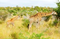 Daina della giraffa e vitello, parco nazionale di Kruger fotografia stock