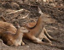 Daina e fawn Fotografia Stock Libera da Diritti