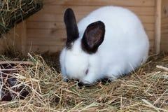 Daina matura del coniglio in gabbia o conigliera dell'azienda agricola Fondo dei conigli di allevamento Fotografia Stock