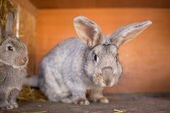 Daina matura del coniglio nella gabbia dell'azienda agricola Conigli di allevamento Immagine Stock Libera da Diritti