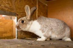 Daina matura del coniglio nella gabbia dell'azienda agricola Conigli di allevamento Fotografia Stock Libera da Diritti
