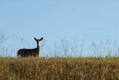 daine Blanc-suivie de cerfs communs Photographie stock
