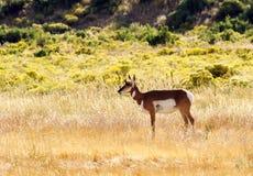 Daine d'antilope de Pronghorn photos stock