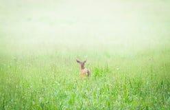 Daine dans un pré vert brumeux Image libre de droits