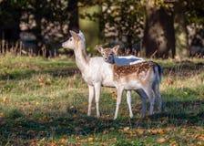 Daine de cerfs communs affrichés et bête d'un an - position de dama de Dama en clairière ensoleillée photographie stock libre de droits