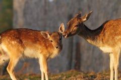 Daine de cerfs communs affrichés et son bébé Image libre de droits