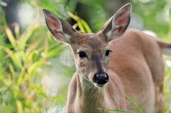 Daine de cerfs communs d'arrière blanc dans l'herbe verte Images libres de droits