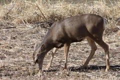 Daine de cerfs communs de mule Photographie stock libre de droits