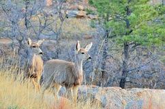 Daine de cerfs communs de mule avec la bête d'un an photographie stock