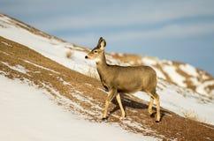 Daine de cerfs communs de mule dans la neige en parc national de bad-lands image stock