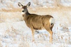 Daine de cerfs communs de mule dans la neige en parc national de bad-lands Image libre de droits