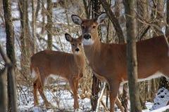 Daine de cerfs communs de White-tail photo stock
