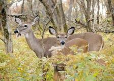Daine de cerfs communs de Whitetail avec la bête d'un an photos stock