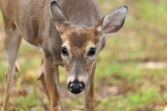 Daine de cerfs communs de Whitetailed Photos stock