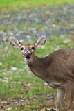 Daine de cerfs communs de Whitetailed Photographie stock libre de droits