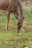 Daine de cerfs communs de Whitetailed Photos libres de droits